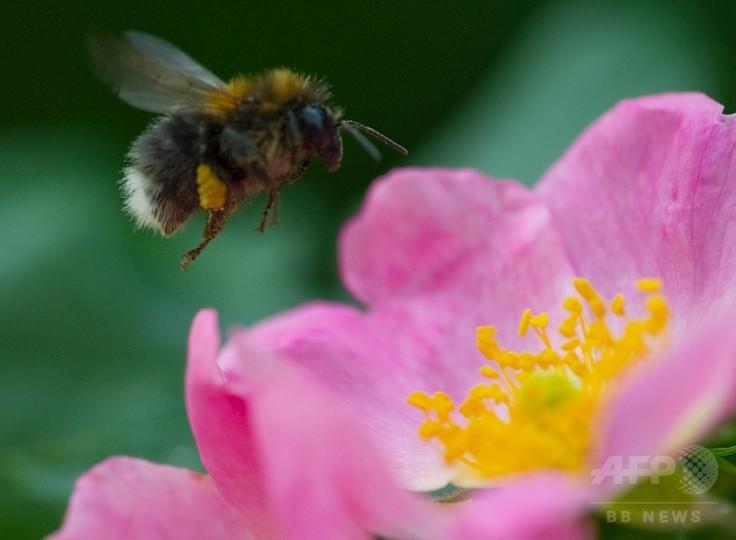 天然の「薬箱」、ハチの寄生虫対策に花蜜成分が効果