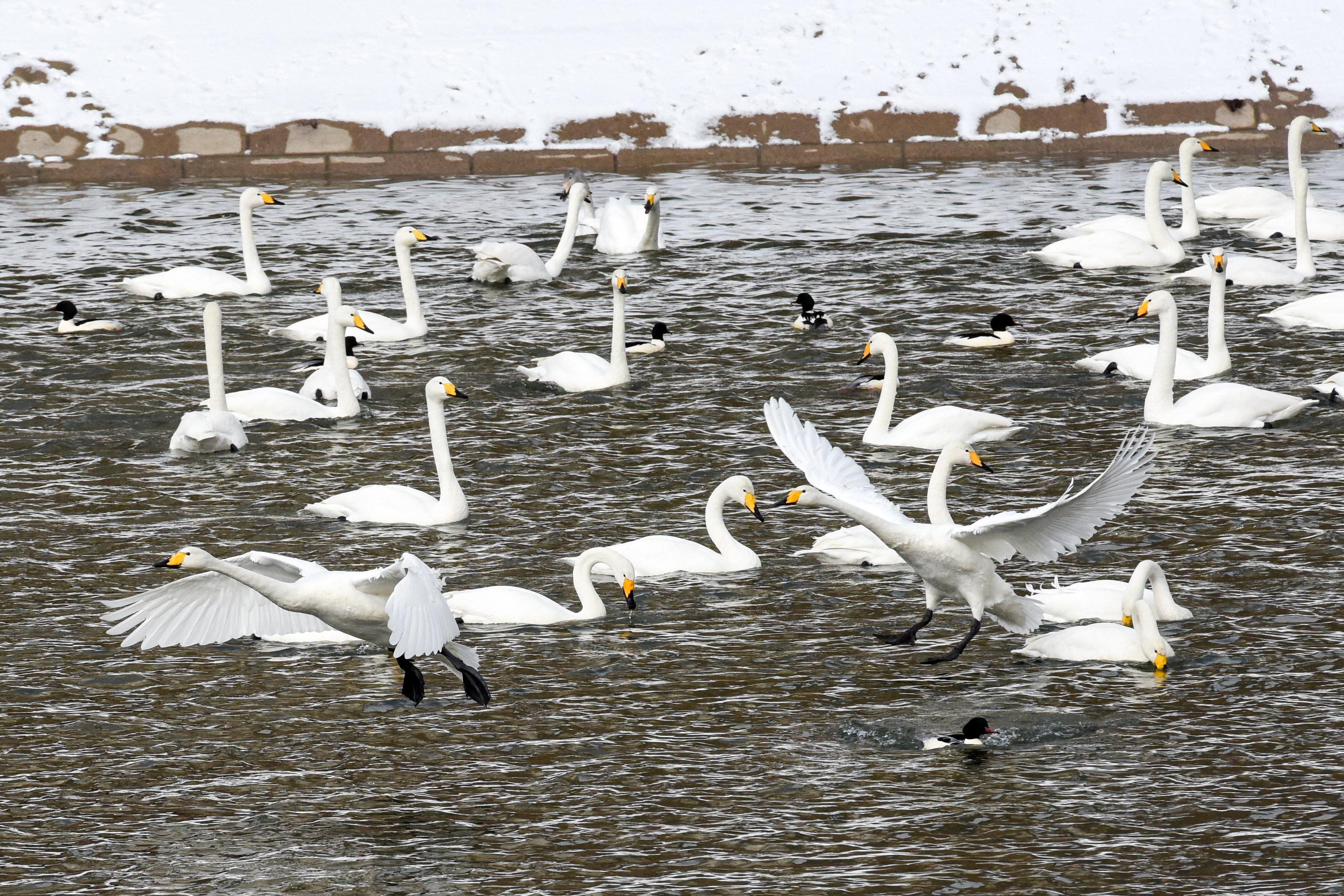 孔雀河で冬を越すオオハクチョウ 新疆コルラ市