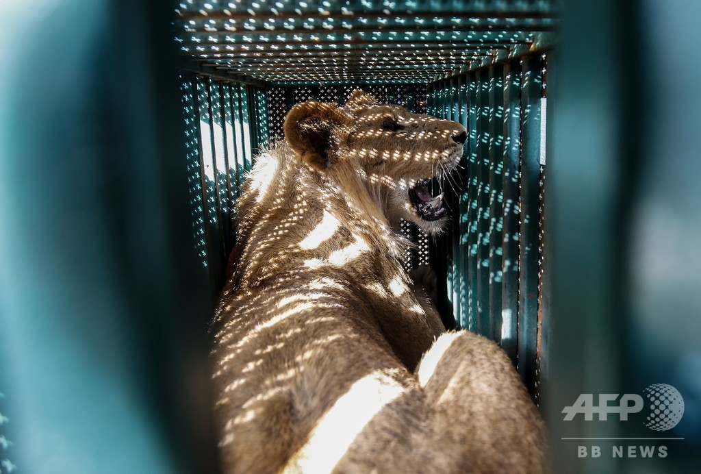 ガザの動物園、資金難でライオンなどヨルダンに移送