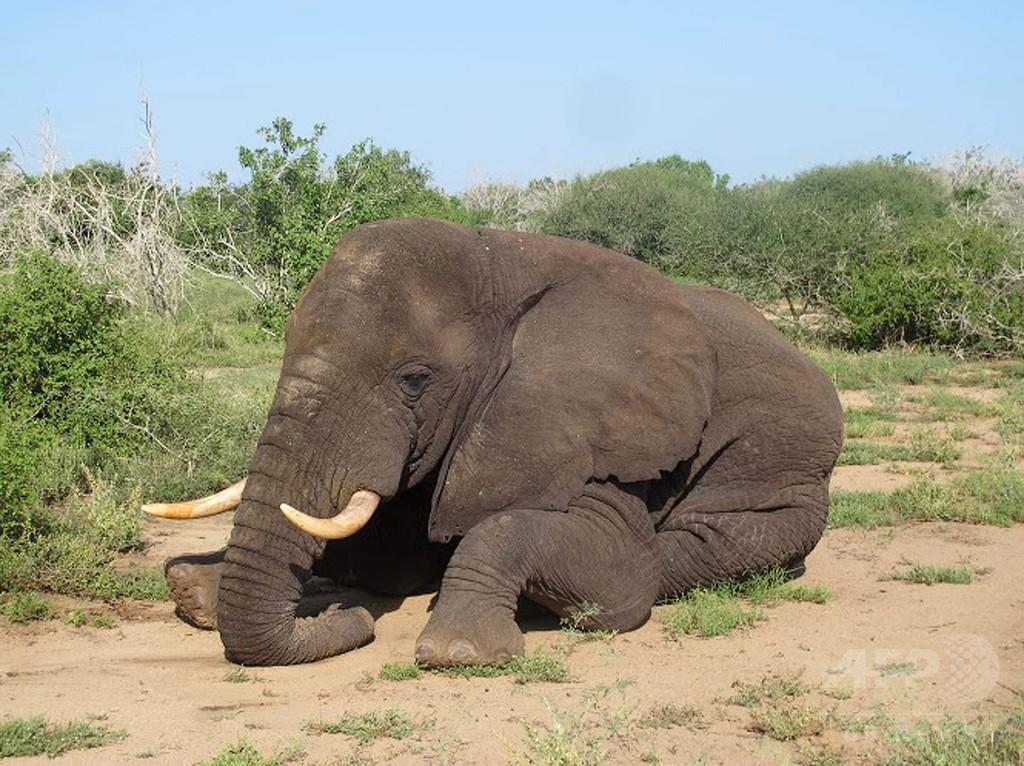 ソマリアで20年ぶりゾウ確認 危険かいくぐり数百km移動