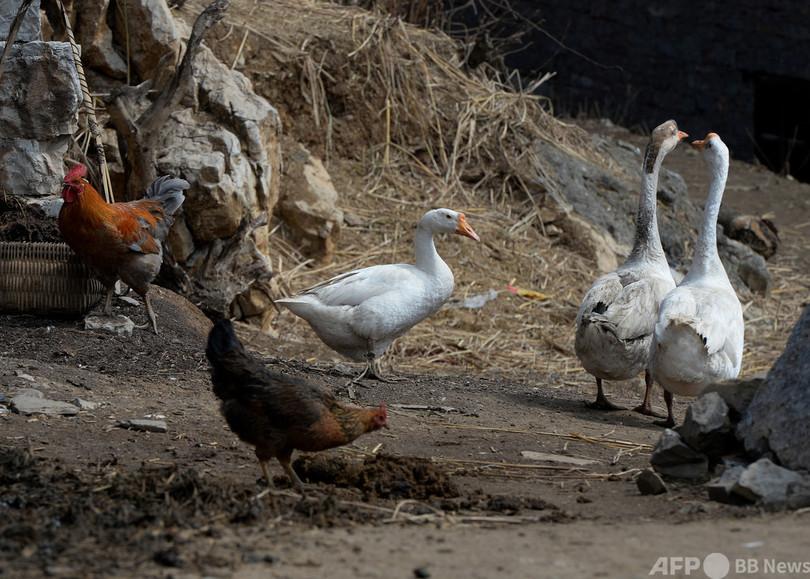 中国、鳥インフルH10N3型のヒト感染確認 世界初