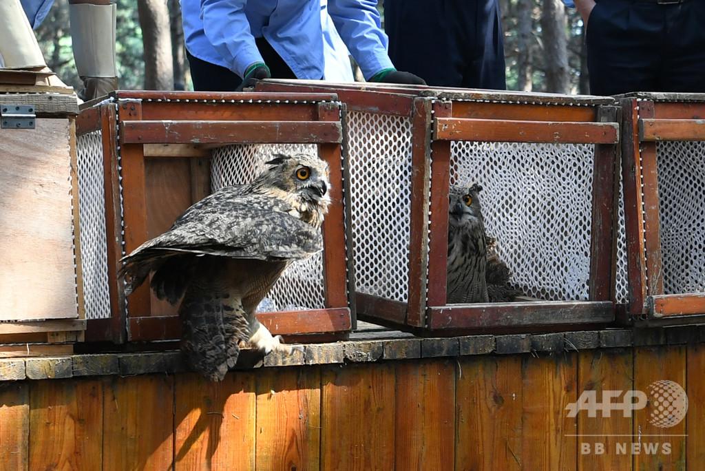 14羽の猛禽類、自然に戻る 保護後の訓練経て 中国・吉林省
