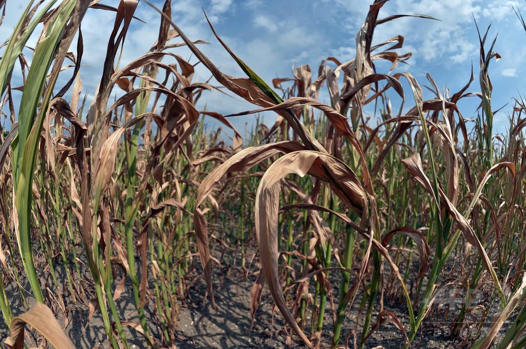 小麦など主要穀物3種、温暖化で収量減不可避 研究