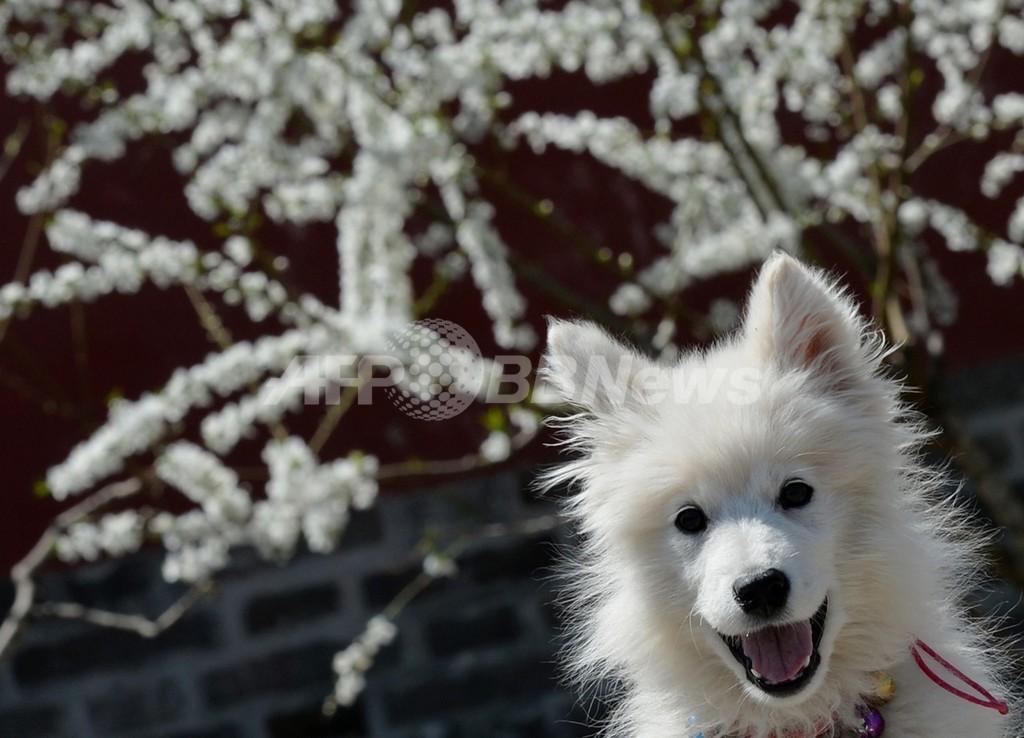 中国の地震予知犬、毎夜の「誤報」に近隣住民がうんざり