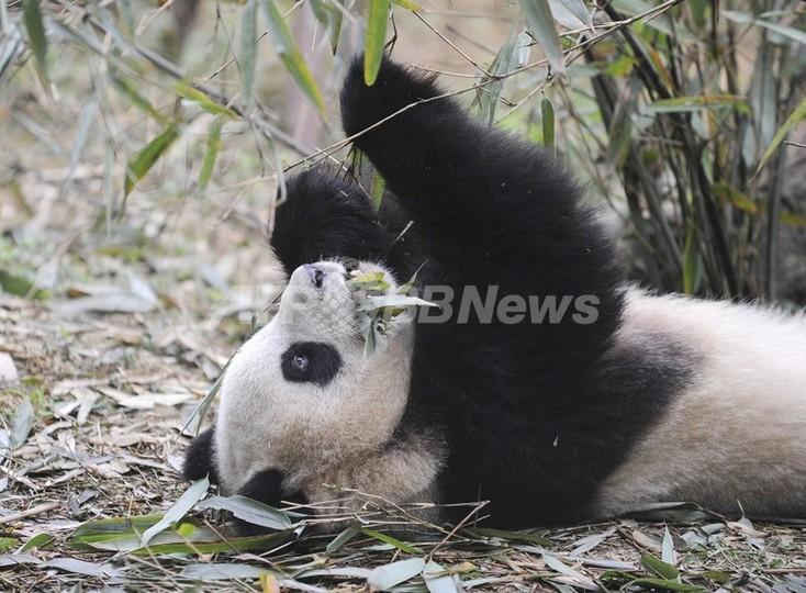 パンダに「食糧危機」、気候変動で竹消滅の恐れ 米中研究チーム