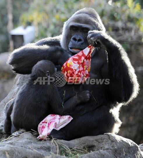 上野動物園でゴリラの赤ちゃん誕生