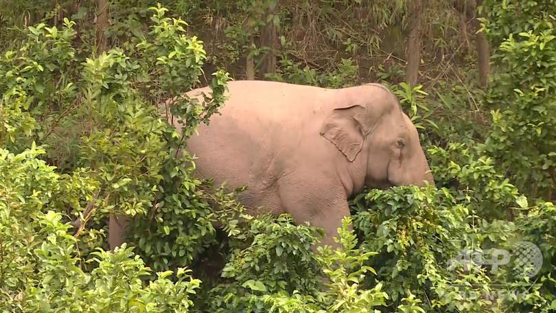 野生のアジアゾウ、食料を求め民家に 雲南・プーアル