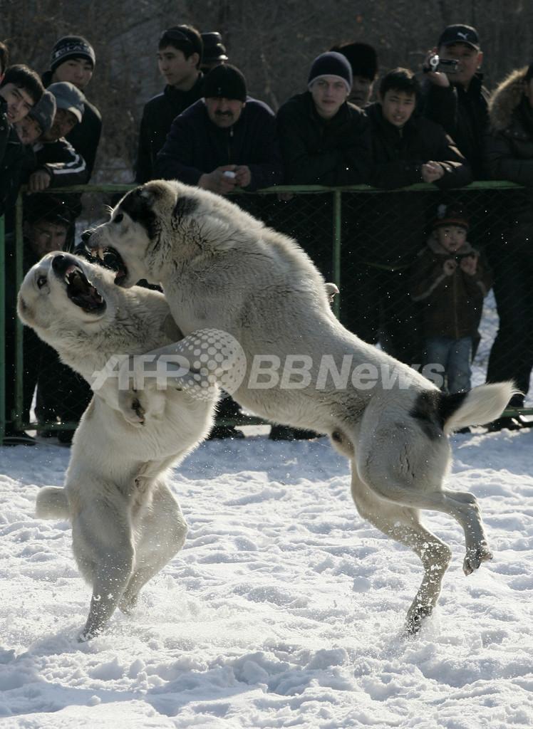 キルギスの闘犬大会
