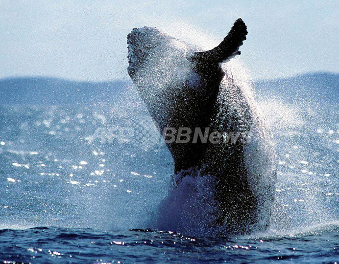 クジラは「人と同じく苦悩する動物」、研究