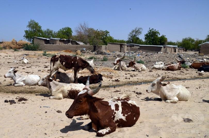 牛がボコ・ハラムの資金源に、市場を一時閉鎖 ナイジェリア