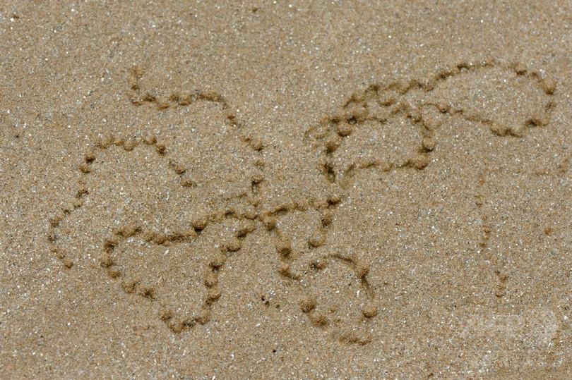 砂浜の絵師、スナガニ
