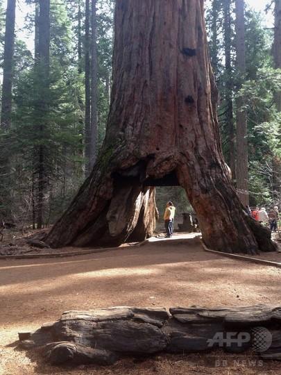 米加州で暴風雨、車が通れる穴で有名な巨木倒れる 樹齢1000年超