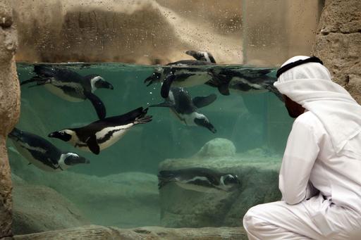 英国からやってきたクウェート初のケープペンギン