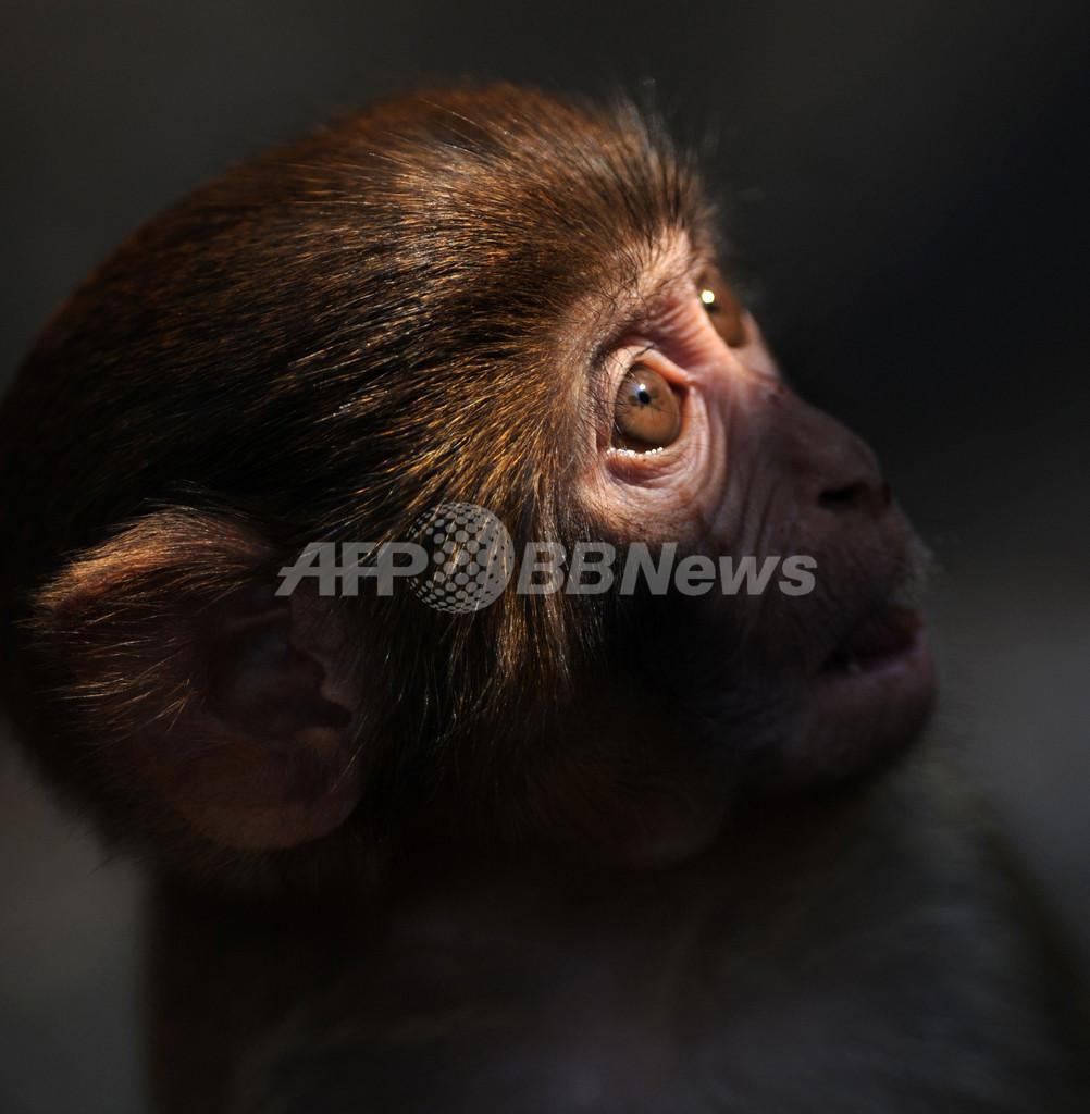 「避妊」で野生ザルの個体数が減少、香港