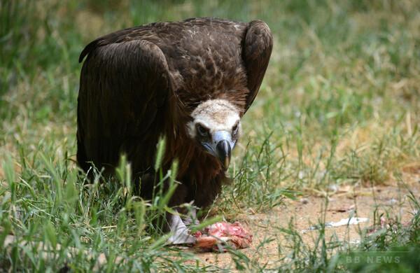 死肉食べても食中毒にならないコンドルの謎、国際チームが解明
