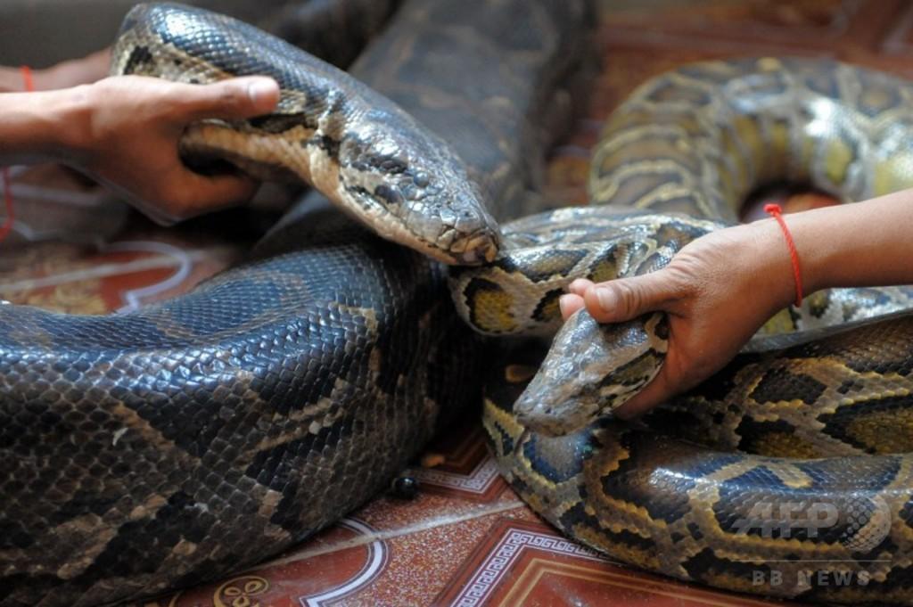 国際ニュース:AFPBB News【特集】ヤマアラシ丸のみからピザまで、驚きのヘビ写真集