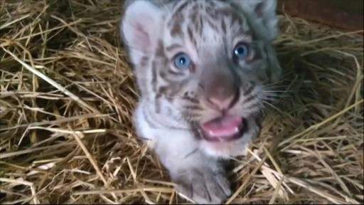 動画:ベンガルトラの3つ子の赤ちゃん誕生、1頭はホワイト ペルー