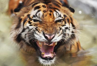 インドの人食いトラ狩り、秘密兵器はカルバン・クラインの香水?