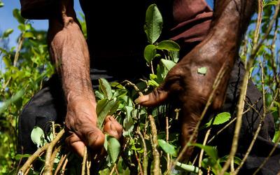 アヘンとコカイン、世界生産量が過去最高に 国連報告書