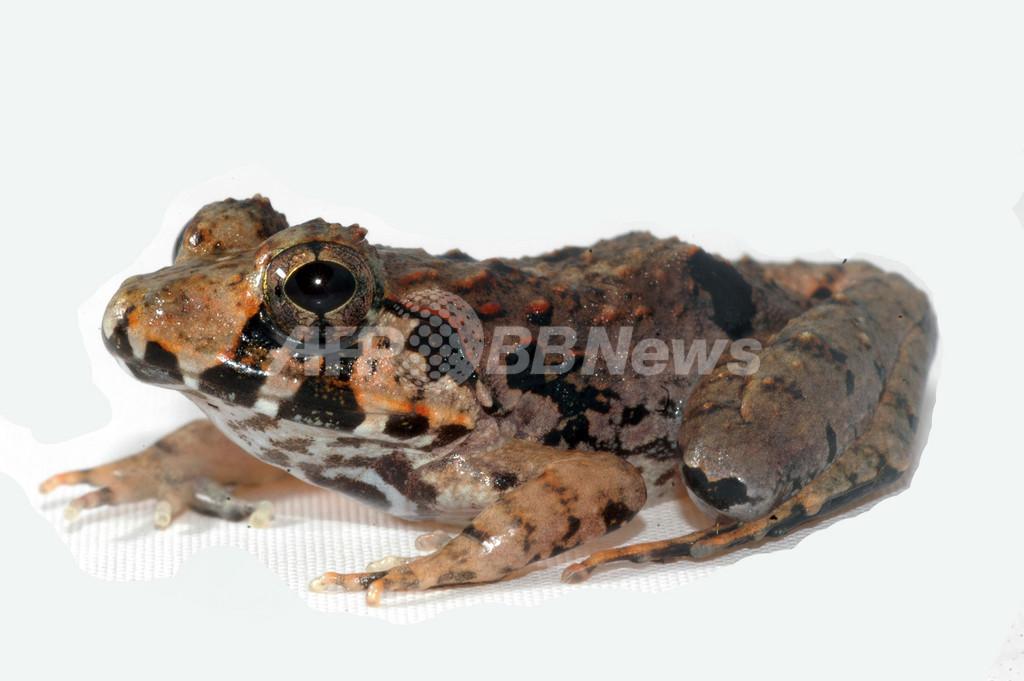 マレーシア・ボルネオ島で新種のカエル発見