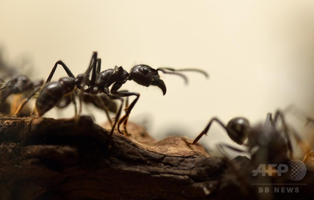 リーダーの頭脳と集団の腕力、アリの協調行動解明 研究