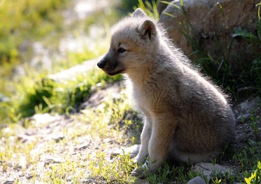 オオカミの子も「取ってこい」の遊びをする 研究