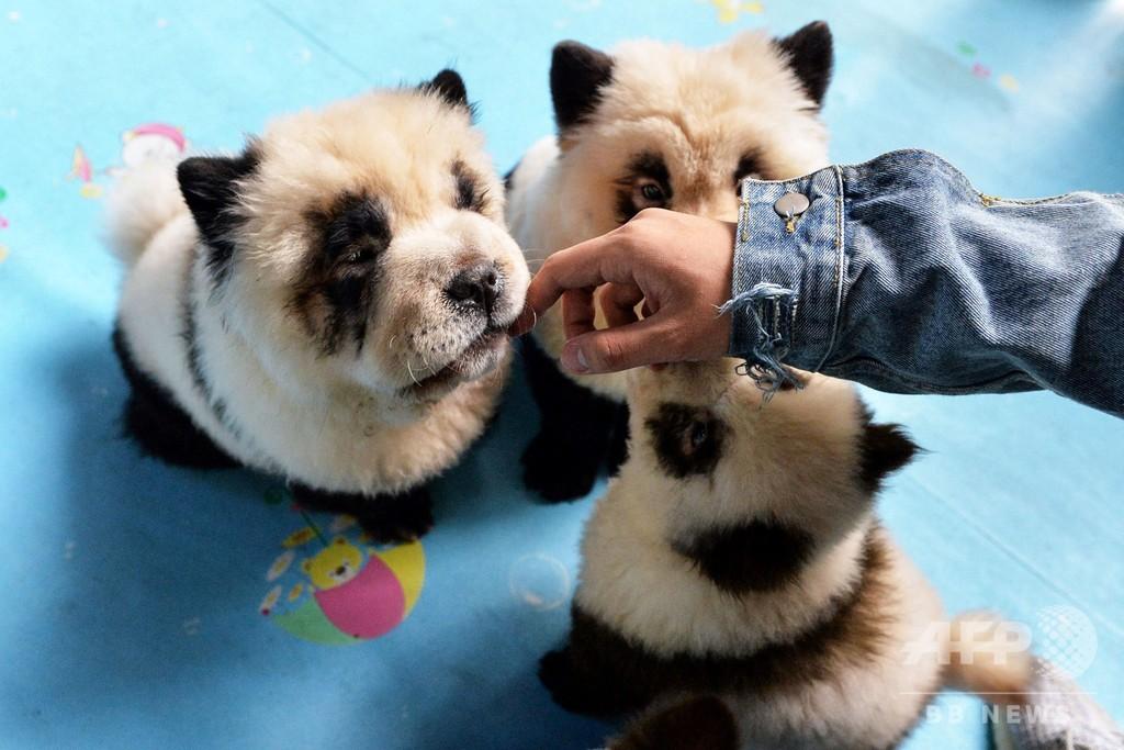 中国で「パンダ犬カフェ」オープン 人気の一方で物議醸す
