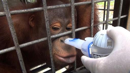 動画:絶滅危機のオランウータンに深刻な煙害、インドネシア大規模森林火災