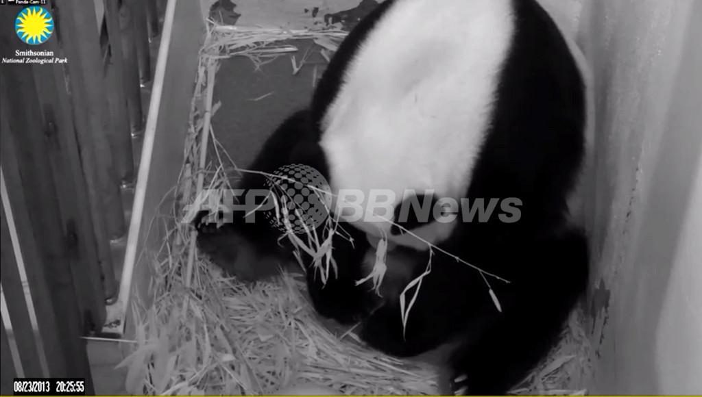 米首都で赤ちゃんパンダ誕生、父親は「まだ不明」