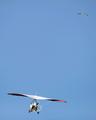 鳥になったプーチン大統領、ツルの群れと空を飛ぶ