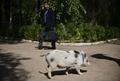 ペットとして大人気、公園を散歩するブタたち メキシコ