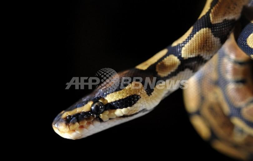 ヘビが赤外線を「感じる」メカニズムが明らかに、米研究