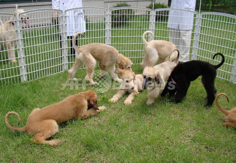 世界初のクローン犬「スナッピー」が父親に、ソウル大