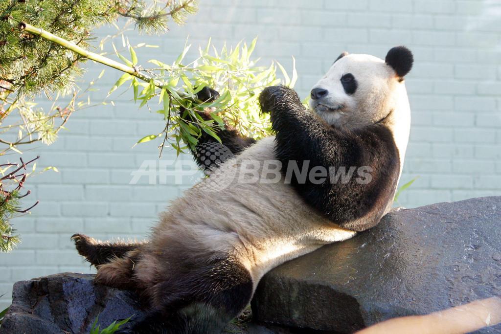 エディンバラ動物園、パンダ2頭を一般公開