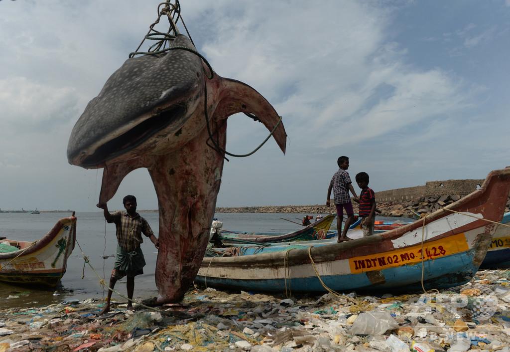 インドの漁港にジンベエザメの死骸漂着、クレーンで引きあげ