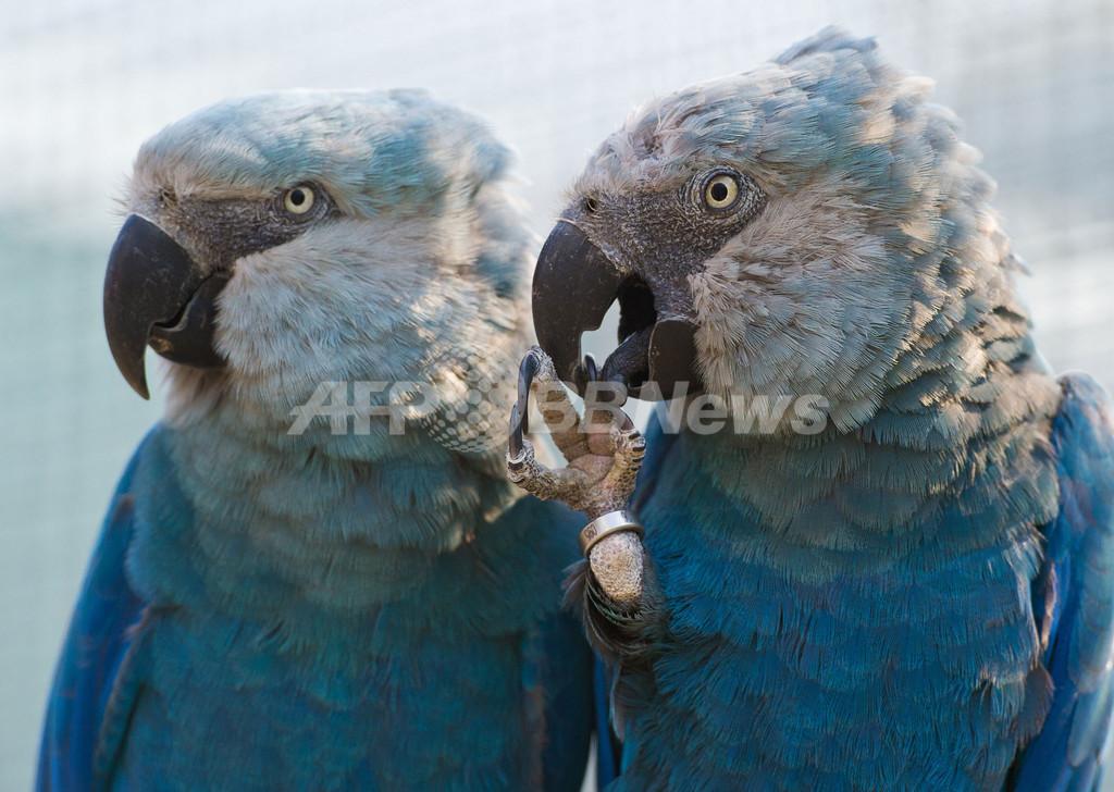 羽根が鮮やか、絶滅が危惧されるアオコンゴウインコ