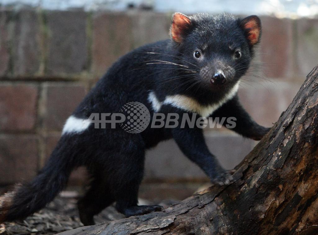 個体数激減のタスマニアデビル、豪政府も絶滅危惧種に指定