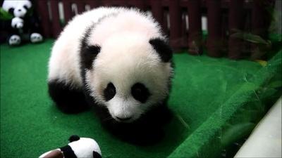 動画:パンダのもふもふ赤ちゃん初公開 マレーシア