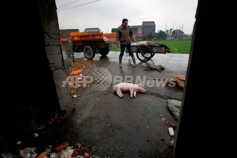 「ブタの死骸溶かして川に流した」、中国の養豚農家