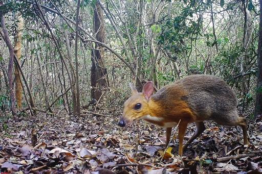 ベトナムのマメジカ希少種、約30年ぶりに森で発見 生息信じて研究