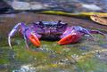フィリピンで新種の淡水ガニ発見、鮮やかな紫色