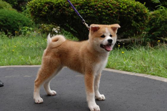 プーチン露大統領に贈呈、秋田犬「ゆめ」の写真公開