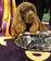「ウエストミンスター」ドッグショー、優勝はサセックス・スパニエル