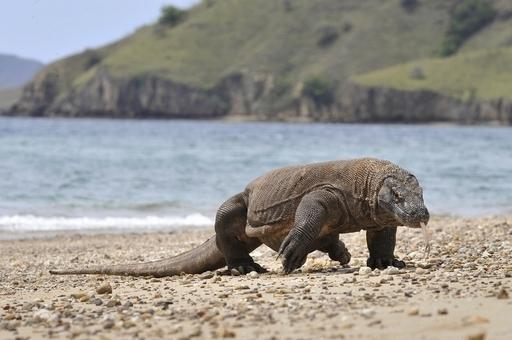 コモドドラゴン3頭がこつぜんと姿を消す、動物園が注意喚起 インドネシア