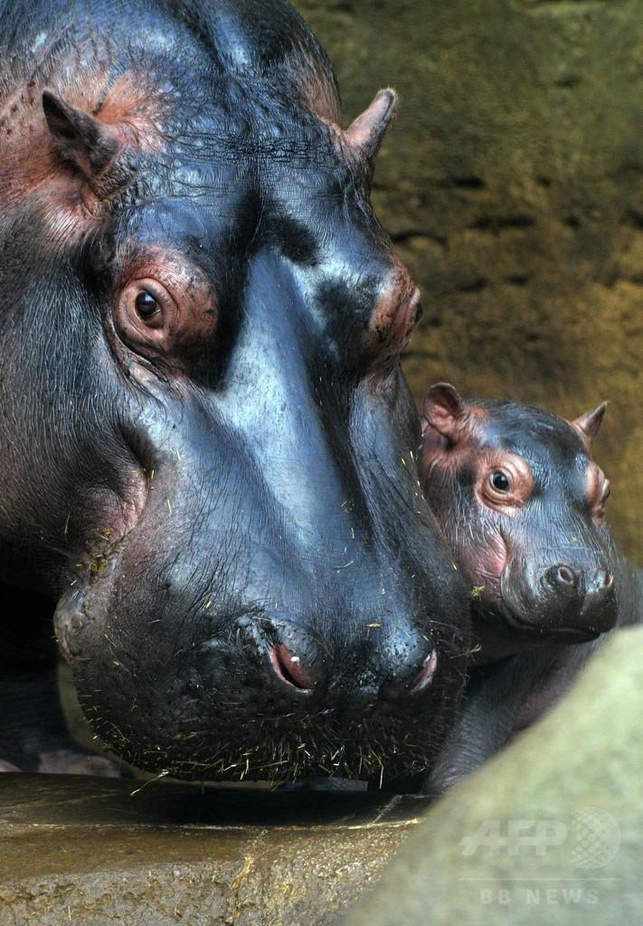 生後1か月の赤ちゃんカバ、目をまん丸にして水泳も チェコ
