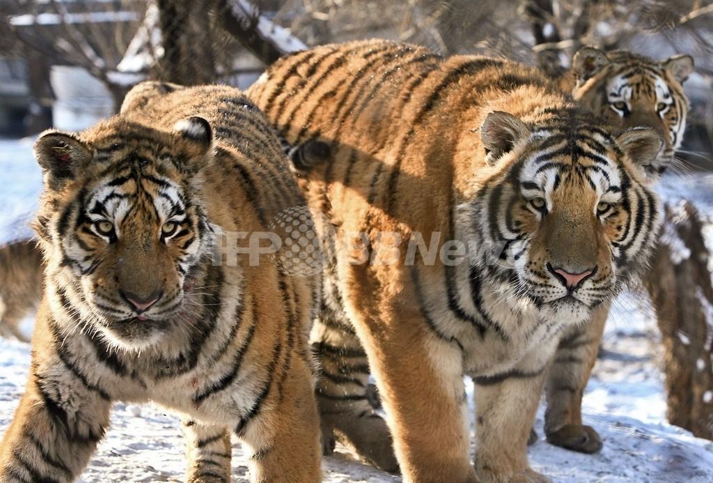 中国動物園でシベリアトラ11頭が餓死、財政難でえさ不足に