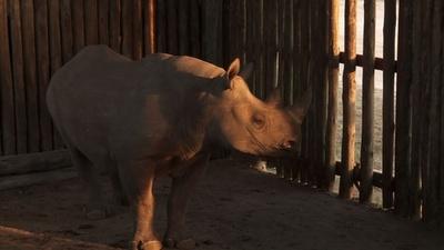 動画:絶滅危機のクロサイ、密猟で全滅の地チャドへ6頭輸送 南ア