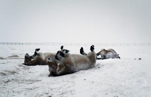 最後の野生馬、絶滅の縁からロシアの大草原に帰還