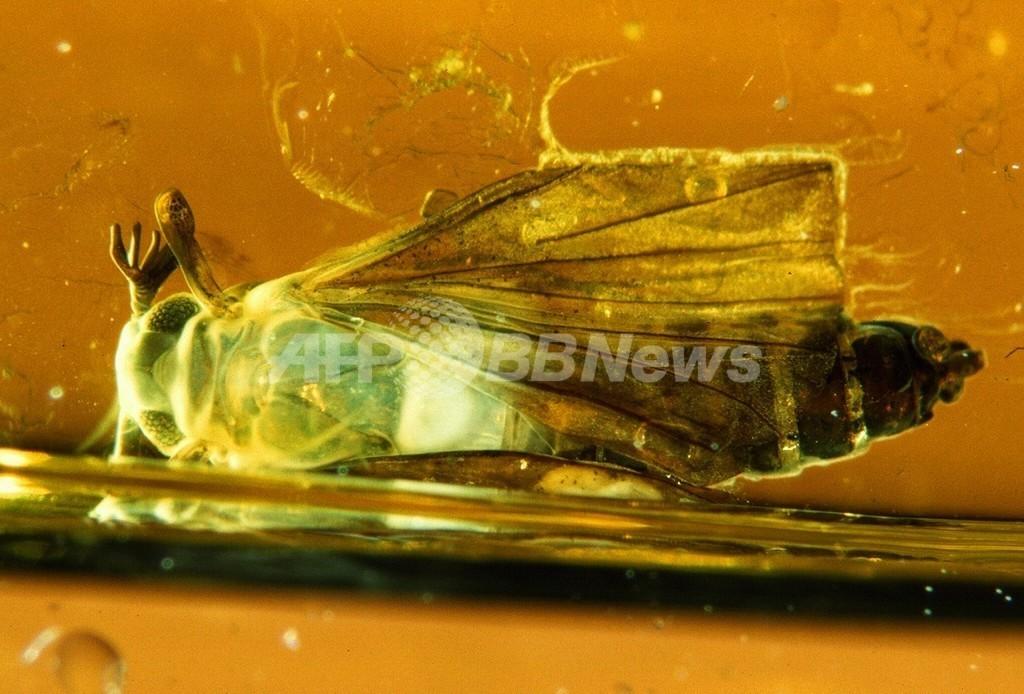 1億1000万年前の昆虫、琥珀から発見 スペイン