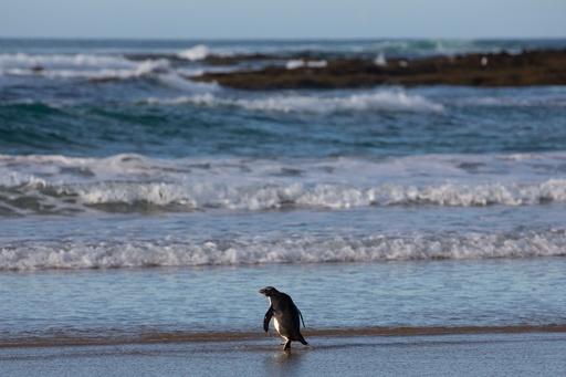 NZ―豪を泳いで2500キロ 保護されたキマユペンギン、野生へ